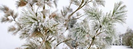 在2月期间,寒冷结霜的杉木分支 免版税图库摄影