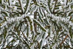 在2月期间,寒冷结霜的杉木分支 免版税库存图片