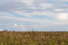 在9月的共同的芦苇,上面多云天空 芦苇水平的看法  免版税库存照片