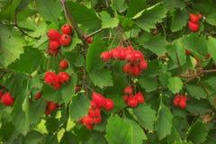 在9月看起来美丽的山楂树莓果 库存照片