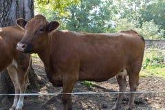 在10月秋天下午的幼小德国母牛 免版税库存照片