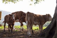 在10月秋天下午的幼小德国母牛 免版税库存图片