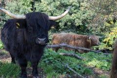 在10月秋天下午的苏格兰长角牛 免版税图库摄影