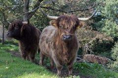 在10月秋天下午的苏格兰长角牛 免版税库存图片
