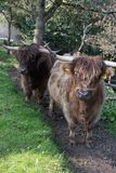 在10月秋天下午的苏格兰长角牛 图库摄影