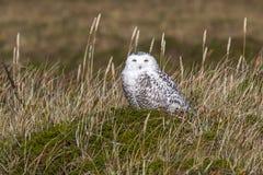 在晴朗的丛寒带草原坐的母多雪的猫头鹰 免版税库存图片