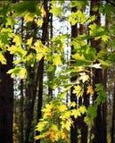 在晴朗的光的槭树叶子 库存图片
