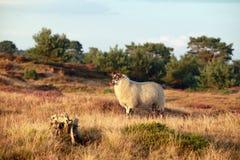 在晴朗的夏天欧石南丛生的荒野的绵羊 免版税库存图片