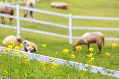 在晴朗的夏天牧场地和花的白羊 图库摄影