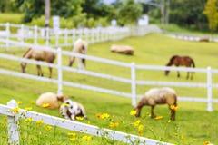 在晴朗的夏天牧场地和花的白羊 免版税库存照片