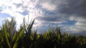 在晴朗的多云天空的玉米 图库摄影