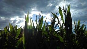 在晴朗的多云天空的玉米 库存图片