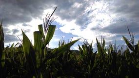 在晴朗的多云天空的麦地 免版税库存照片