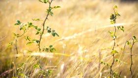在晴朗的天气的野玫瑰果特写镜头 免版税库存图片