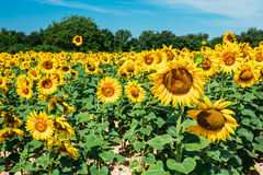 在晴朗的明亮的黄色bloomng向日葵领域 免版税库存图片