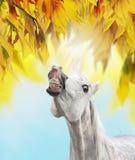 在晴朗的秋天叶子背景的微笑白马  库存照片
