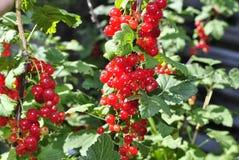 在晴朗的草甸的芬芳成熟莓果 免版税库存图片