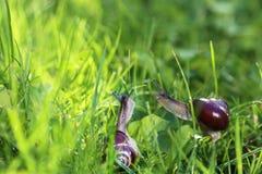 在晴朗的草的两只蜗牛 库存图片