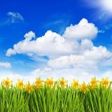 水仙在晴朗的蓝天的草开花 免版税图库摄影