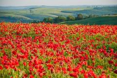 在晴朗的谷的一个巨大的鸦片领域在一个春日 库存图片