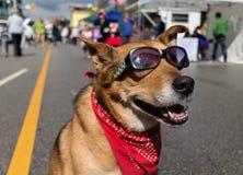 在晴朗的都市街道上的凉快的狗 免版税库存照片