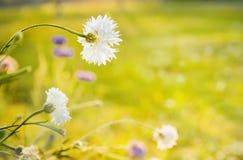 在晴朗的领域的白色矢车菊 免版税图库摄影