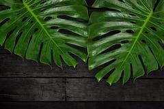在黑木桌,热带植物上的绿色叶子Monstera 图库摄影