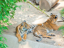 在洛杉矶动物园的两皇家孟加拉老虎  免版税库存照片