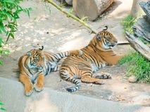 在洛杉矶动物园的两皇家孟加拉老虎  库存图片