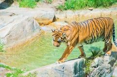 在洛杉矶动物园的皇家孟加拉老虎  免版税图库摄影