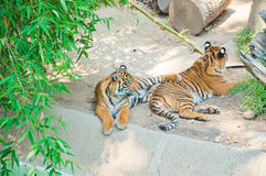 在洛杉矶动物园的皇家孟加拉老虎  库存照片