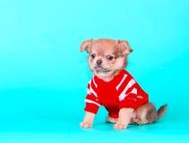 在绿松石背景的小的小狗 奇瓦瓦狗纵向 免版税库存照片