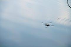 在水板材的水strider 免版税库存照片
