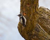 在结构树的啄木鸟 免版税库存照片