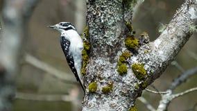 在结构树的啄木鸟 免版税图库摄影