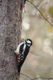 在结构树的啄木鸟 库存照片