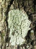 在结构树的地衣 免版税图库摄影