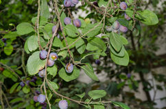 在结构树的新鲜的成熟蓝色李子 库存照片