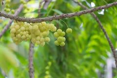 在结构树的星形鹅莓 免版税库存照片