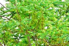 在结构树的星形鹅莓 库存照片
