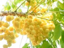 在结构树的星形鹅莓 图库摄影