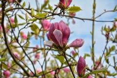 在结构树的木兰开花 免版税库存照片