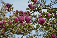 在结构树的木兰开花 库存照片
