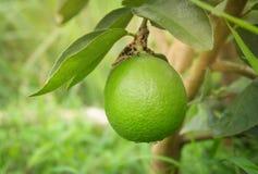 在结构树的柠檬 免版税库存图片