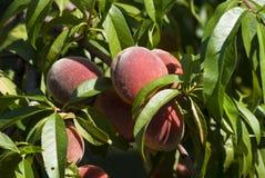 在结构树的桃子 库存图片