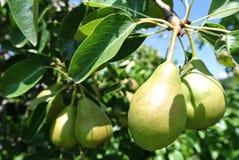 在结构树的梨 免版税库存照片
