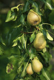 在结构树的梨 免版税图库摄影