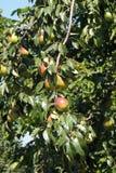 在结构树的梨 库存照片