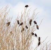 在结构树的椋鸟 库存图片