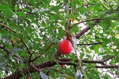 在结构树的樱桃李子 库存图片